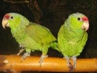 papageienzüchter
